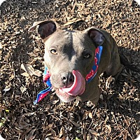 Adopt A Pet :: Belle - Chicago, IL