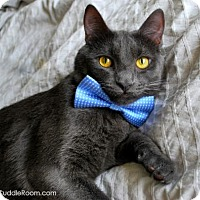 Russian Blue Cat for adoption in Los Angeles, California - Gale