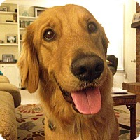 Golden Retriever Mix Dog for adoption in BIRMINGHAM, Alabama - Sully