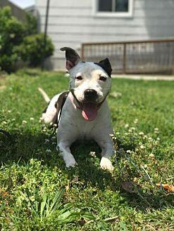 Dalmatian/Boxer Mix Dog for adoption in Va Beach, Virginia - Lola