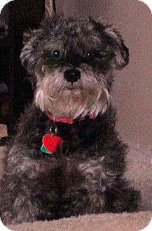 Schnauzer (Miniature) Mix Dog for adoption in Toronto, Ontario - Maya