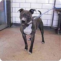 Adopt A Pet :: Jolie - Chicago, IL