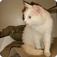 Adopt A Pet :: Pearl - Chesapeake, VA
