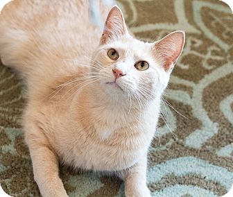 Domestic Shorthair Cat for adoption in Chicago, Illinois - Nathaniel