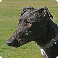 Greyhound Dog for adoption in Portland, Oregon - Tina