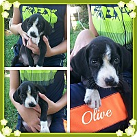 Adopt A Pet :: Olive - Stamford, CT