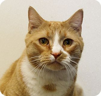 Domestic Shorthair Cat for adoption in Grinnell, Iowa - Simpson