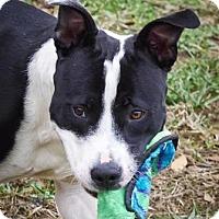 Adopt A Pet :: Buddy - Lincolnton, NC