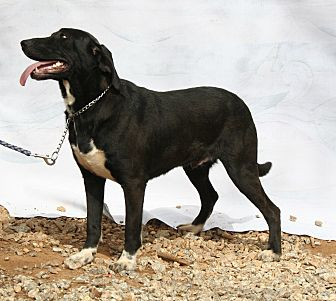 Labrador Retriever/Mixed Breed (Medium) Mix Dog for adoption in Ashland, Alabama - Blackie
