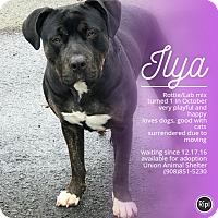 Adopt A Pet :: Ilya - Union, NJ