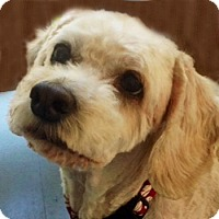 Cockapoo/Cocker Spaniel Mix Dog for adoption in Newington, Virginia - Jack