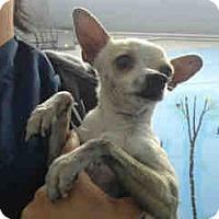 Chihuahua Mix Dog for adoption in San Bernardino, California - URGENT on 3/29 SAN BERNARDINO
