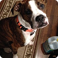 Adopt A Pet :: Chance 2 - Waterford, MI
