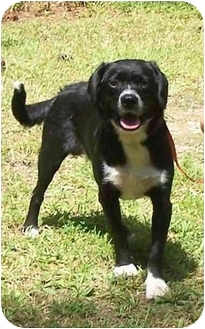 Spaniel (Unknown Type) Mix Dog for adoption in Little River, South Carolina - Scout