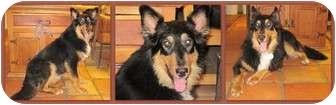 Australian Shepherd/Collie Mix Dog for adoption in Trabuco Canyon, California - Utah