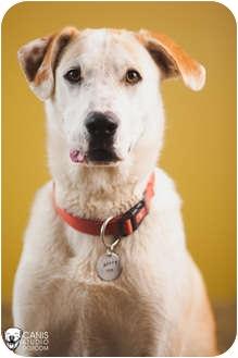 Labrador Retriever/Husky Mix Dog for adoption in Portland, Oregon - Milwaukee