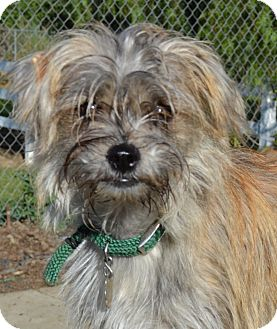 Shih Tzu/Terrier (Unknown Type, Small) Mix Puppy for adoption in Simi Valley, California - Maggie
