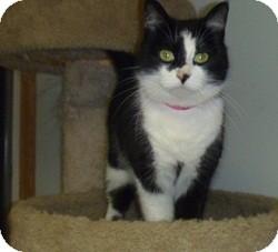 Domestic Shorthair Cat for adoption in Hamburg, New York - Angie