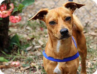 Chihuahua Mix Dog for adoption in Bradenton, Florida - Rupert