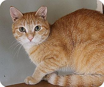 Domestic Shorthair Cat for adoption in Richmond, Virginia - Skittles