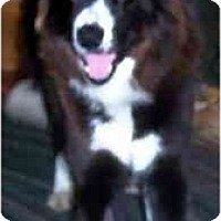 Adopt A Pet :: Carli - Tiffin, OH