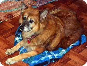 German Shepherd Dog/Chow Chow Mix Dog for adoption in Melrose, Florida - Buddy