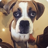 Adopt A Pet :: Sophie - North Hollywood, CA