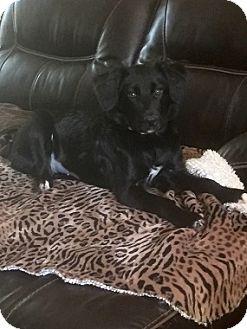 Labrador Retriever Mix Puppy for adoption in Austin, Texas - Suzie Q