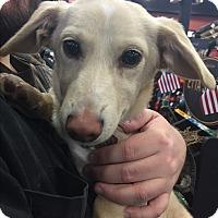 Adopt A Pet :: Lucas - Manassas, VA