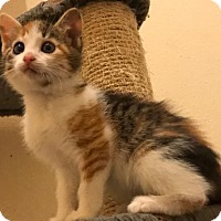Adopt A Pet :: Freckles the Loving Calico - Oviedo, FL
