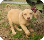 Labrador Retriever Mix Puppy for adoption in Washington, D.C. - Muffin