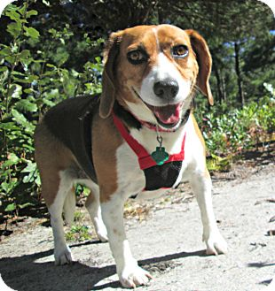 Beagle Dog for adoption in Forked River, New Jersey - Samantha