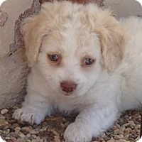 Adopt A Pet :: Harley - La Habra Heights, CA