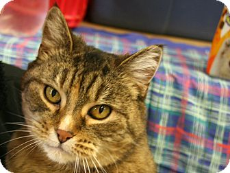 Domestic Shorthair Cat for adoption in Republic, Washington - Olive