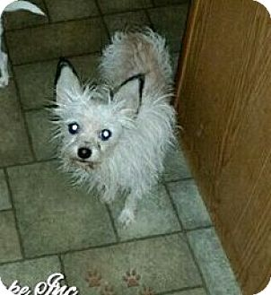 Chihuahua Mix Dog for adoption in Maryville, Illinois - Louis