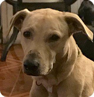 Labrador Retriever/Greyhound Mix Dog for adoption in Orlando, Florida - Sugar