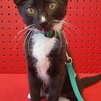 Domestic Shorthair Cat for adoption in Walnut Creek, California - Tucker