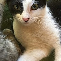 American Shorthair Kitten for adoption in Texarkana, Arkansas - Hickory