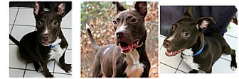 American Staffordshire Terrier Mix Dog for adoption in Forked River, New Jersey - Bender