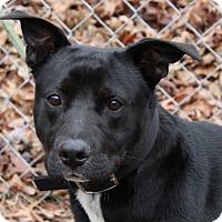 Adopt A Pet :: Cody - Harrisonburg, VA
