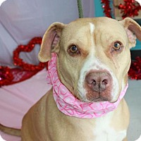 American Pit Bull Terrier Mix Dog for adoption in Erwin, Tennessee - Dottie