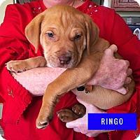 Adopt A Pet :: Ringo - Winchester, VA