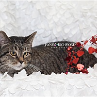 American Shorthair Cat for adoption in Reed City, Michigan - SPAYED/NEUT CATS ONLY $5.00!