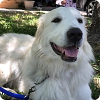 Adopt A Pet :: Gypsy Snow - Kyle, TX