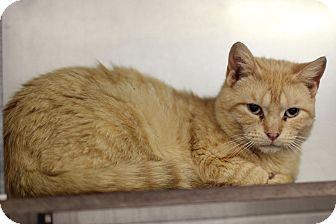Domestic Shorthair Cat for adoption in Midland, Michigan - Jojo - BARN