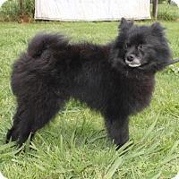 Adopt A Pet :: Bear - Newark, NJ