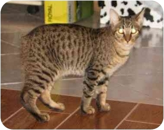 Domestic Shorthair Cat for adoption in Orlando, Florida - Rupert