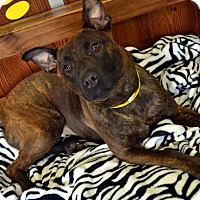 Adopt A Pet :: Beverly - Toledo, OH
