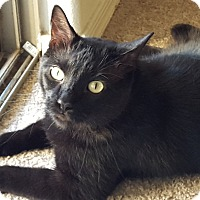 "Bombay Cat for adoption in Mesa, Arizona - Bruce Wayne ""Batman"""