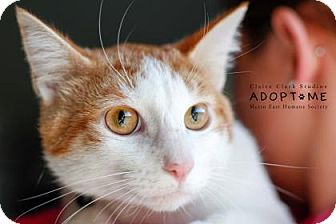 Domestic Shorthair Cat for adoption in Edwardsville, Illinois - Ursala